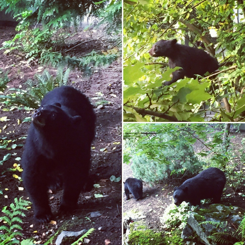 Sometimes when mountain bike coaching, we get to see some bears!